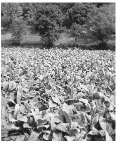 A tobacco plantation in Andorra. Tobacco is the only surviving agricultural crop in the country.