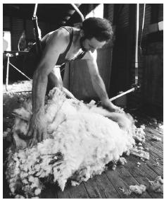 A shearer cuts the wool from a sheep in Stawell, Victoria.