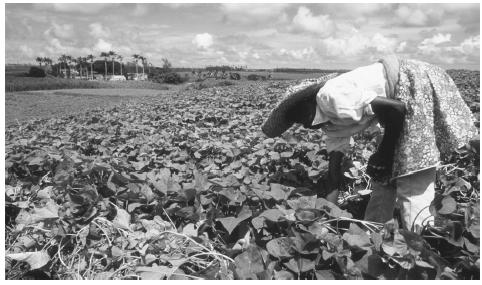 A farm worker harvesting tea. The plantation economy was a large factor in shaping Barbadian culture.