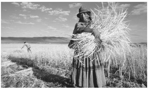 A woman with a bundle of barley in the altiplano. The majority of Bolivians work in agriculture.