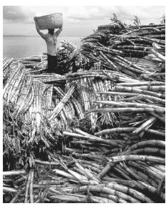 People harvesting sugar cane in Salvador. Northeast Brazil has the most African cultural influence, due to early plantation labor.