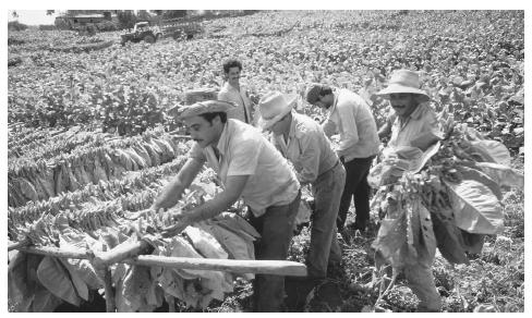 Men harvesting tobacco in Pinar del Rio. Tobacco is an important crop in Cuba, and high–quality Cuban cigars are famous around the world.