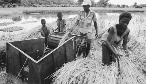 Workers harvesting rice with threshing machines in Kunuku. About 80 percent of Gambians are subsistence farmers.