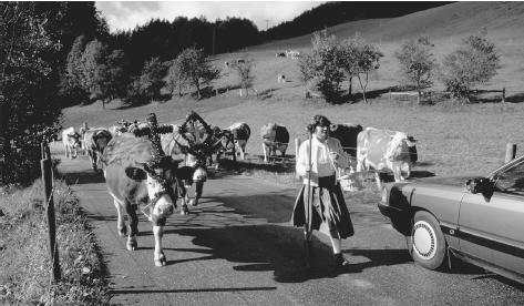 A cowherd leads cows down a rural road at Reit im Winkl, Germany. The cows wear flowered headdresses for an annual celebration.