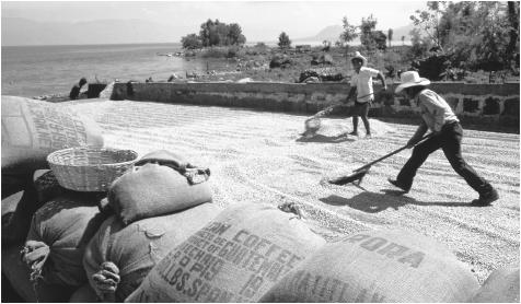 Men spread out coffee beans to dry them in the sun alongside Lake Atitlan. Agriculture is generally considered a male endeavor, although Maya women may grow vegetables and fruits for local sale and consumption.
