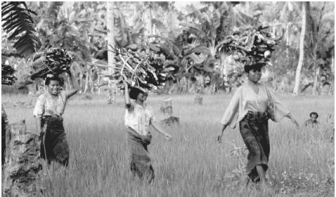 Women carrying firewood in Flores. In Indonesia, men and women share many aspects of village agriculture.