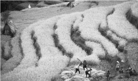 Workers harvest rice on a terraced paddy on the island of Bali.