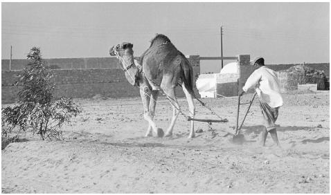 A man using a camel to plough a field along the Tunisia-Libya border.