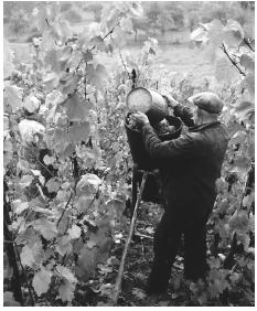 Harvesters pick wine grapes in a vineyard in Wellenstein.