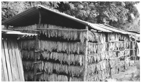 Tobacco leaves hanging out to dry in a Moldovan village. Tobacco farming is one of the major industries.