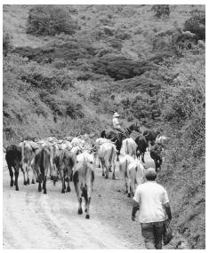 Herding cattle down a dirt road. Grazing land is limited by the mountainous topography.