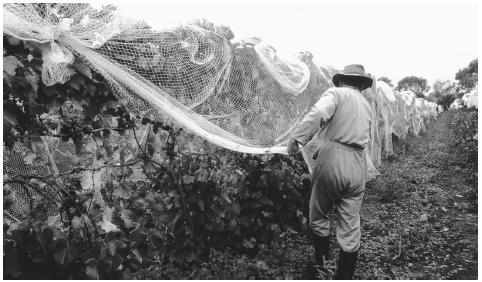 A worker removes bird protection nets from wine grapes in a vineyard. New Zealand's Mediterranean climate is conducive to wine producing.