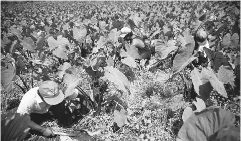 Workers in a taro field. Migrant labor populations live in poor economic conditions, compared to native residents.