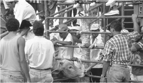 Men surround a bull and spectators watch from behind a fence on the Plaza Colonial as they prepare for a bullfight.