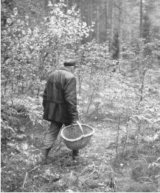 A man is gathering mushrooms in Saint Petersburg. About 80 percent of vegetables consumed are grown in private plots.