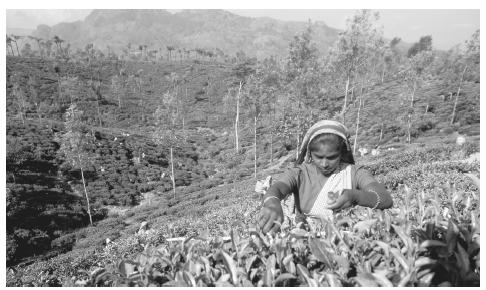 A woman picking tea at a plantation in Sri Lanka. Approximately one-quarter of the workforce is employed in the agricultural sector.