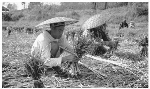 People harvesting garlic in Mae Hong Song. Thailand has a largely export-based economy.