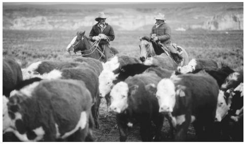 Ranchers herding cattle in the Salt Lake Valley, Utah.